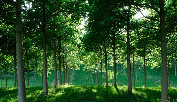 Paulownia-Plantagen - das grüne Investment